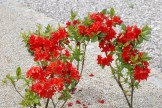 Azalia w pełni kwitnienia